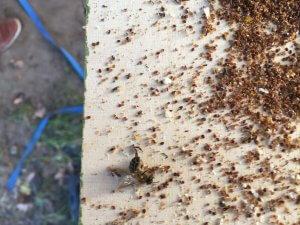 Varoabesmetting Beestenboel